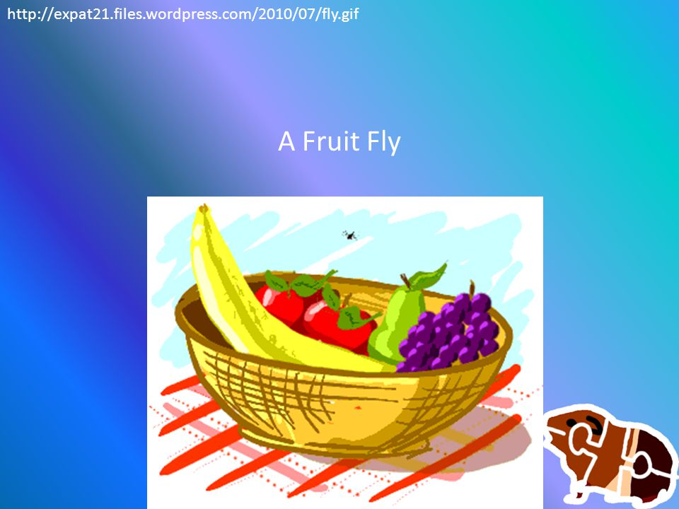A Fruit Fly http://expat21.files.wordpress.com/2010/07/fly.gif