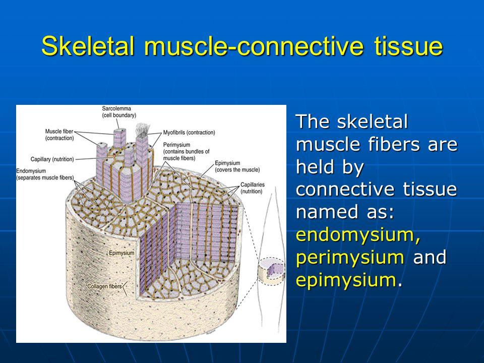 Skeletal muscle-connective tissue The skeletal muscle fibers are held by connective tissue named as: endomysium, perimysium and epimysium.