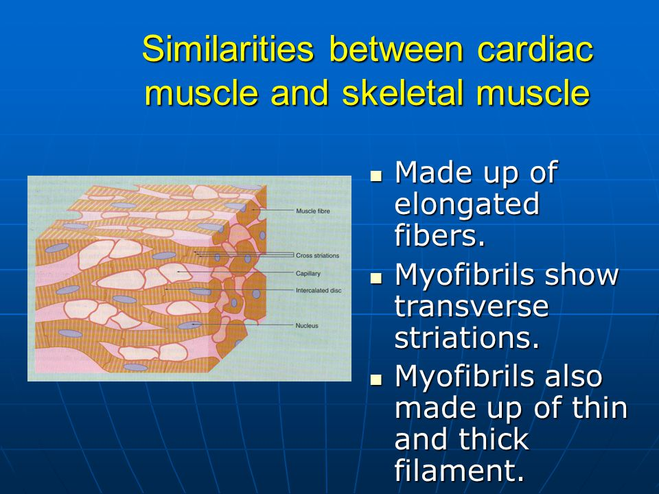 Similarities between cardiac muscle and skeletal muscle Made up of elongated fibers.