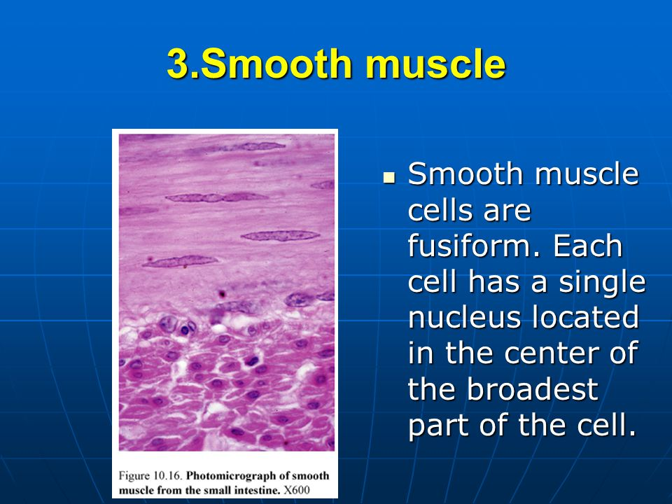 3.Smooth muscle Smooth muscle cells are fusiform.