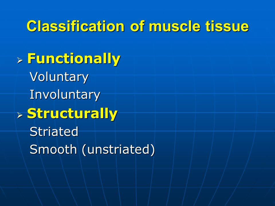 Skeletal muscle -sarcoplasmic reticulum A series of networks around the myofibrils.