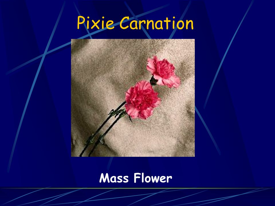 Pixie Carnation Mass Flower