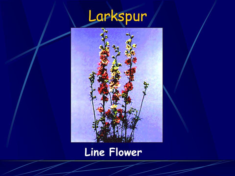 Larkspur Line Flower