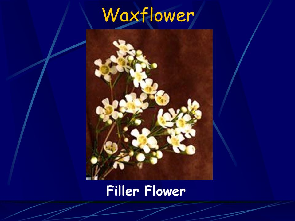 Waxflower Filler Flower