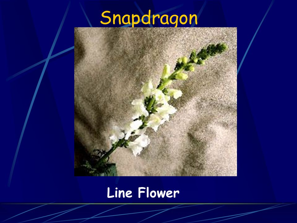 Snapdragon Line Flower