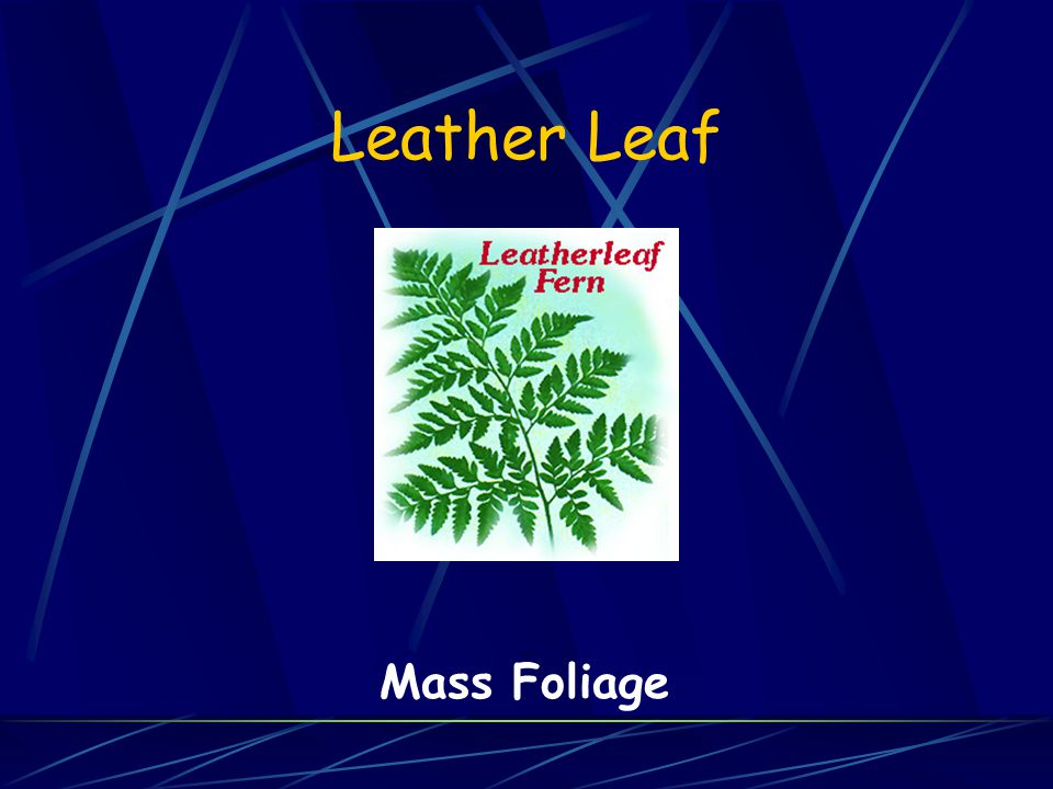 Leather Leaf Mass Foliage