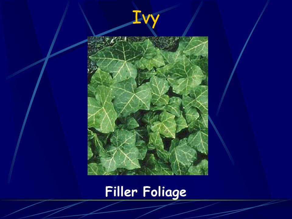 Ivy Filler Foliage