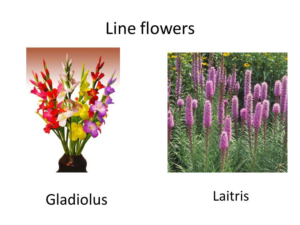 Line flowers Delphinium Bells-of -Ireland
