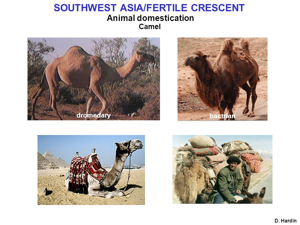 Animal domestication Camel D. Hardin SOUTHWEST ASIA/FERTILE CRESCENT dromedary bactrian