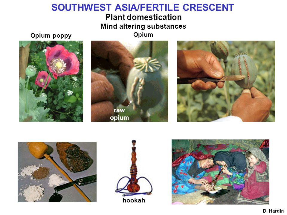 D. Hardin Opium poppy hookah raw opium Plant domestication Mind altering substances Opium SOUTHWEST ASIA/FERTILE CRESCENT