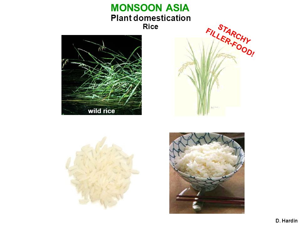 Plant domestication Rice D. Hardin MONSOON ASIA wild rice STARCHY FILLER-FOOD!
