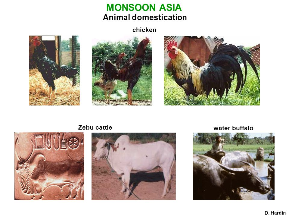 MONSOON ASIA Animal domestication chicken D. Hardin Zebu cattle water buffalo