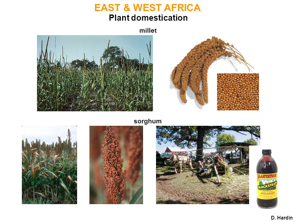 Plant domestication EAST & WEST AFRICA sorghum D. Hardin millet