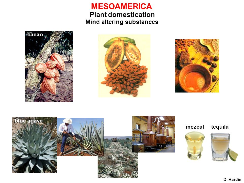 MESOAMERICA Plant domestication Mind altering substances cacao D. Hardin blue agave mezcaltequila