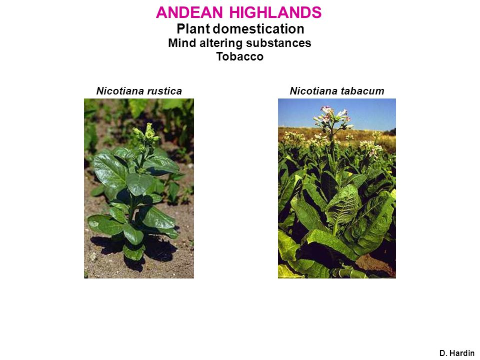 Plant domestication Mind altering substances Tobacco ANDEAN HIGHLANDS D. Hardin Nicotiana rusticaNicotiana tabacum