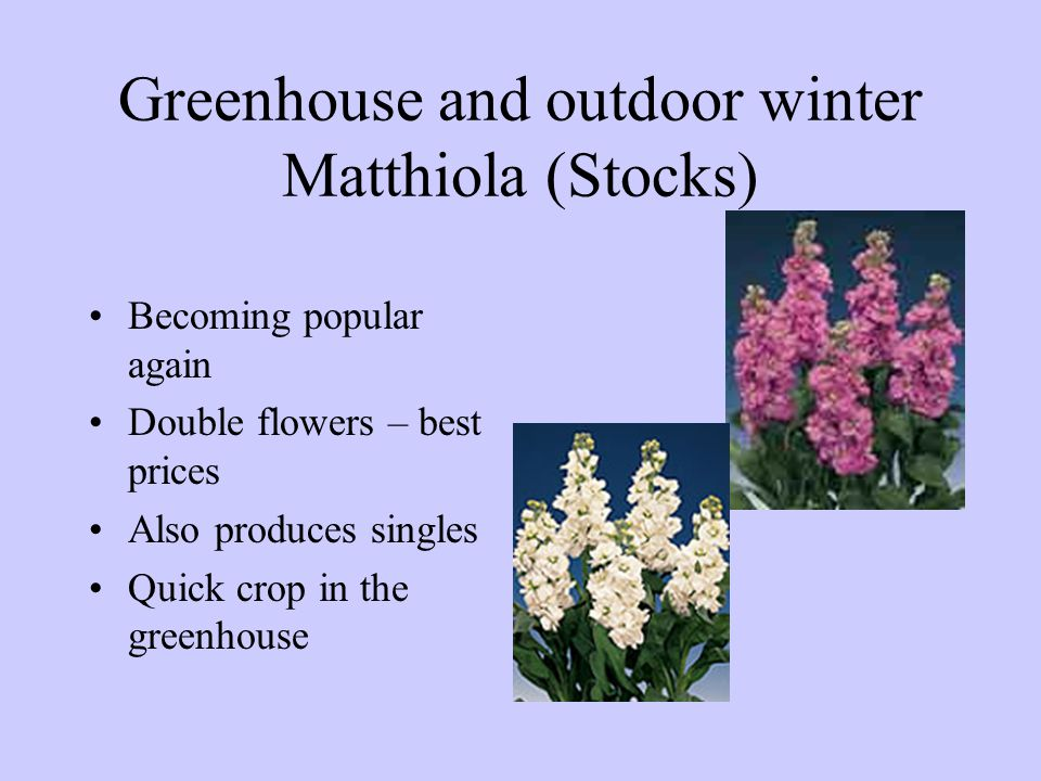 Greenhouse and outdoor winter Matthiola (Stocks) Becoming popular again Double flowers – best prices Also produces singles Quick crop in the greenhous