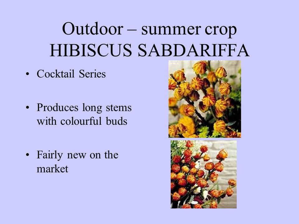 Outdoor – summer crop HIBISCUS SABDARIFFA Cocktail Series Produces long stems with colourful buds Fairly new on the market