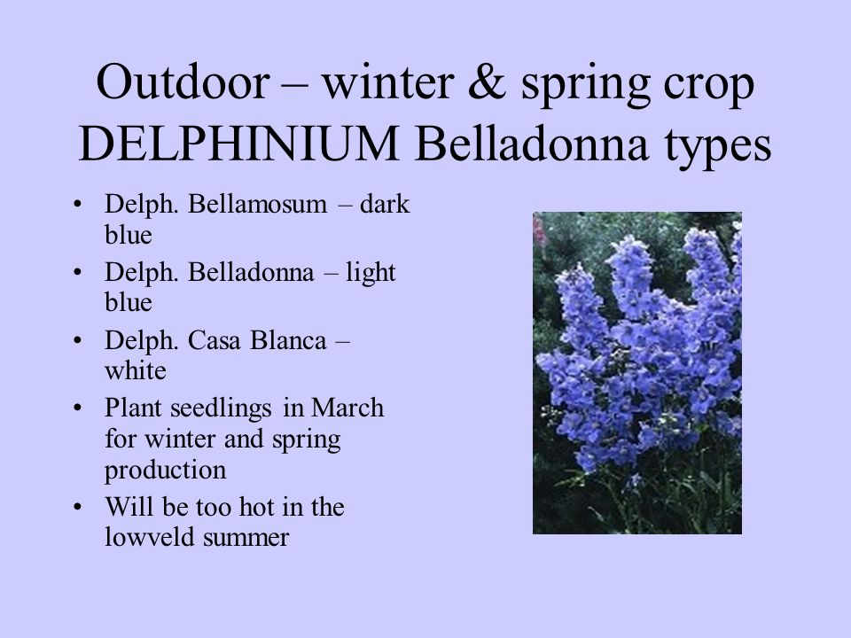 Outdoor – winter & spring crop DELPHINIUM Belladonna types Delph. Bellamosum – dark blue Delph. Belladonna – light blue Delph. Casa Blanca – white Pla