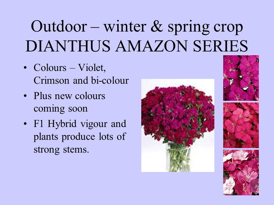 Outdoor – winter & spring crop DIANTHUS AMAZON SERIES Colours – Violet, Crimson and bi-colour Plus new colours coming soon F1 Hybrid vigour and plants