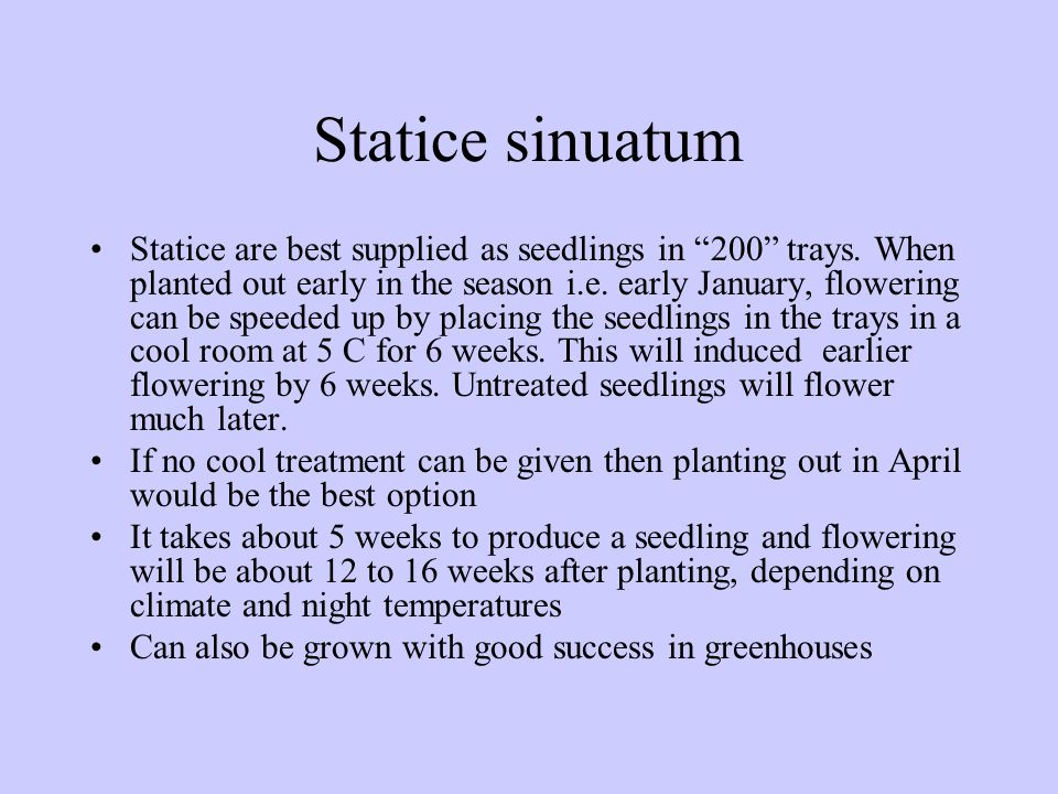 "Statice sinuatum Statice are best supplied as seedlings in ""200"" trays. When planted out early in the season i.e. early January, flowering can be spee"