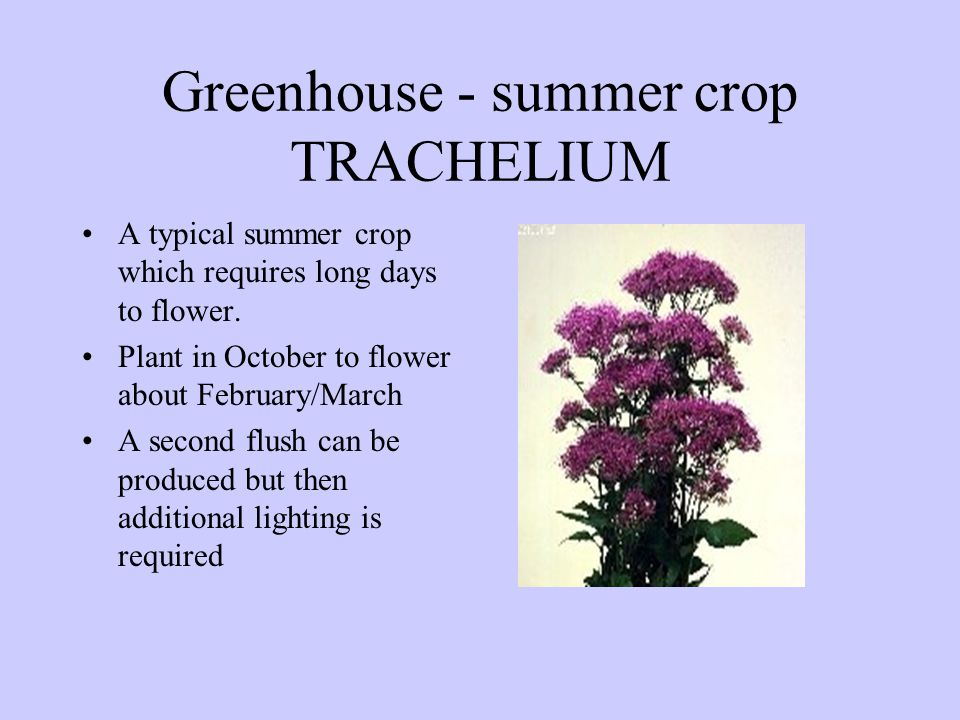 Greenhouse - summer crop TRACHELIUM A typical summer crop which requires long days to flower. Plant in October to flower about February/March A second
