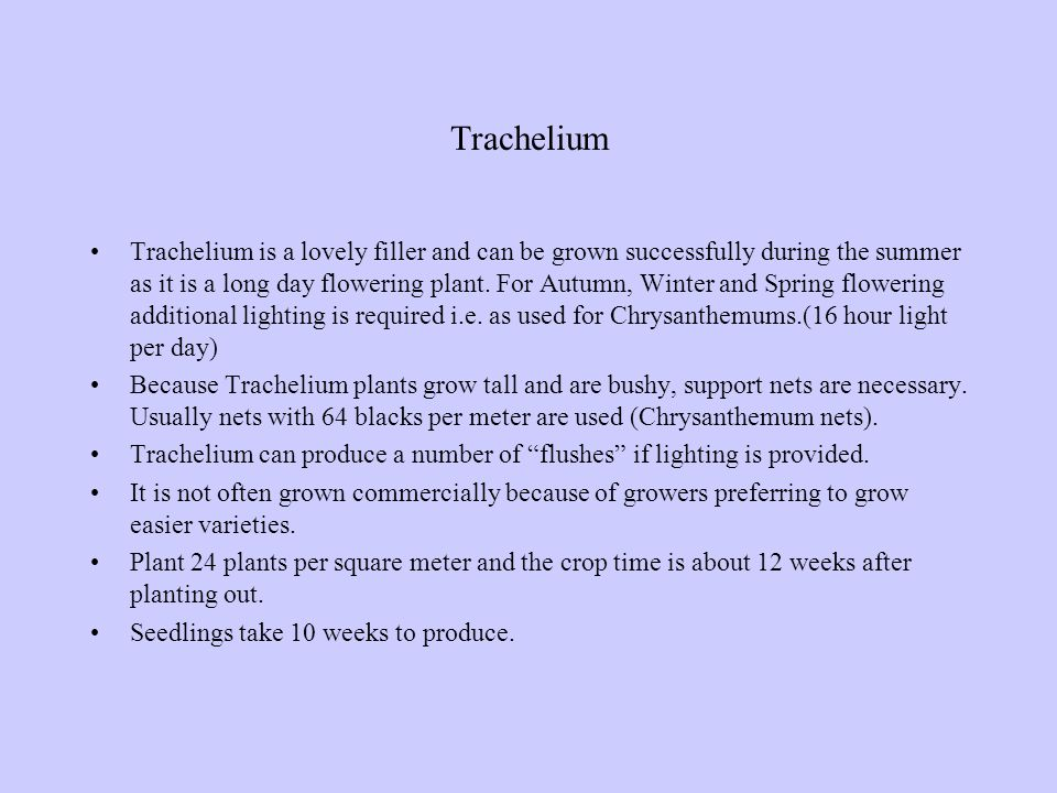 Trachelium Trachelium is a lovely filler and can be grown successfully during the summer as it is a long day flowering plant. For Autumn, Winter and S