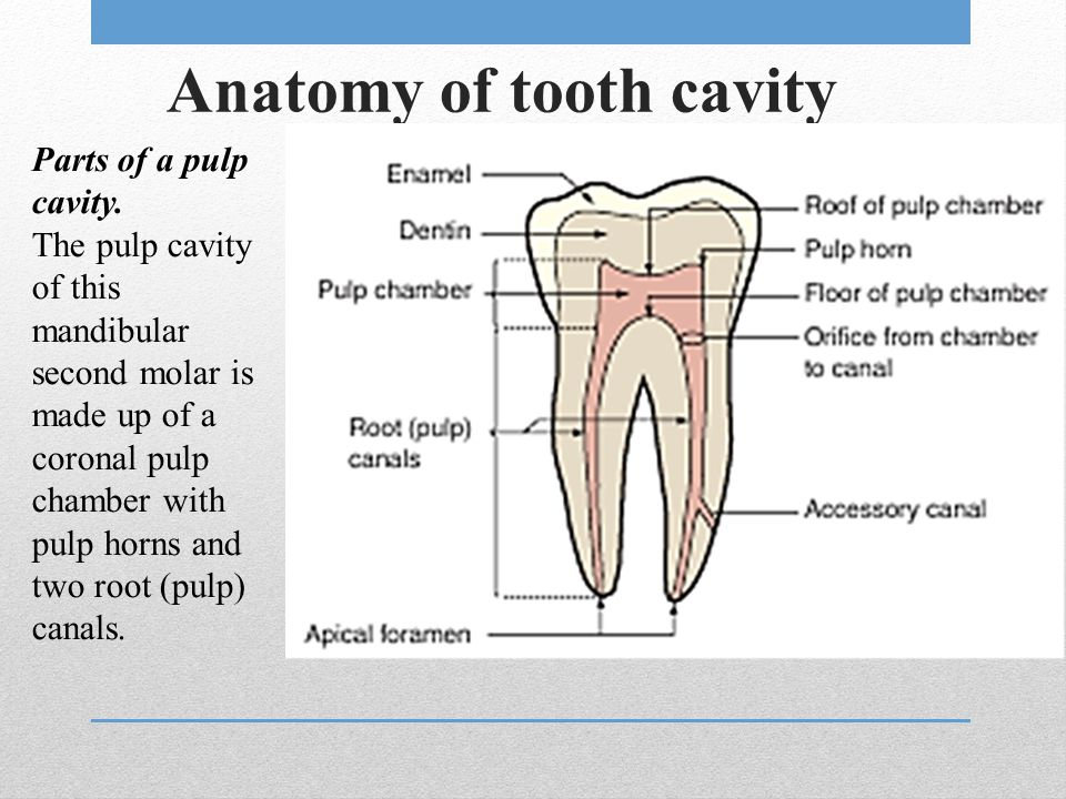 Anatomy of tooth cavity Parts of a pulp cavity. The pulp cavity of this mandibular second molar is made up of a coronal pulp chamber with pulp horns a