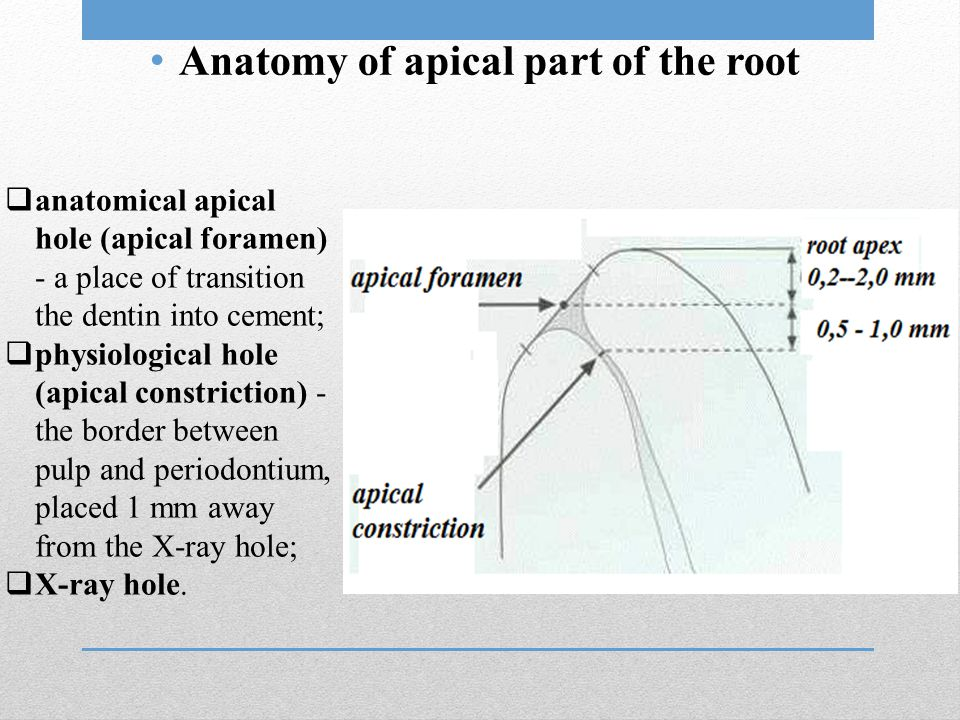 Anatomy of apical part of the root  anatomical apical hole (apical foramen) - a place of transition the dentin into cement;  physiological hole (api