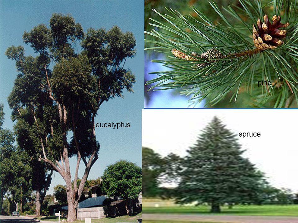 spruce pine eucalyptus