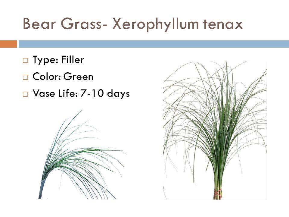 Bear Grass- Xerophyllum tenax  Type: Filler  Color: Green  Vase Life: 7-10 days