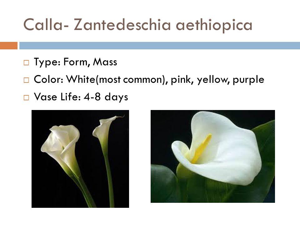 Calla- Zantedeschia aethiopica  Type: Form, Mass  Color: White(most common), pink, yellow, purple  Vase Life: 4-8 days