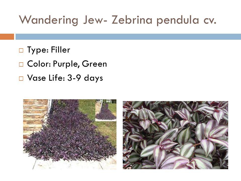 Wandering Jew- Zebrina pendula cv.  Type: Filler  Color: Purple, Green  Vase Life: 3-9 days