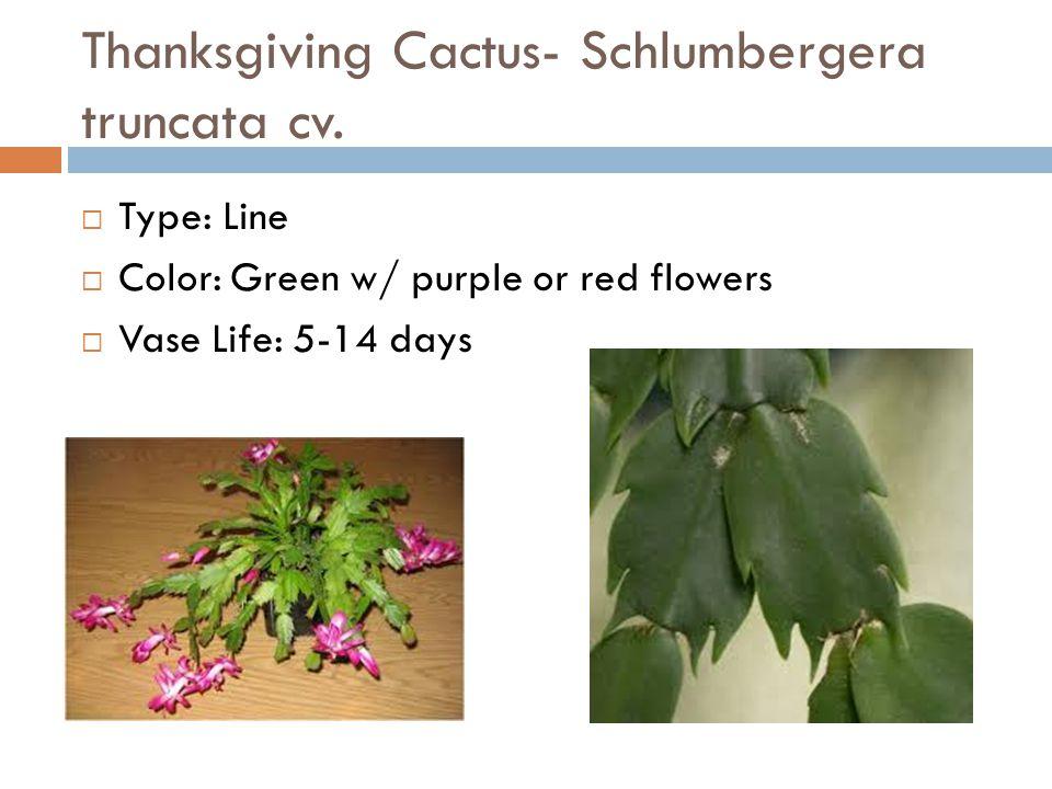 Thanksgiving Cactus- Schlumbergera truncata cv.