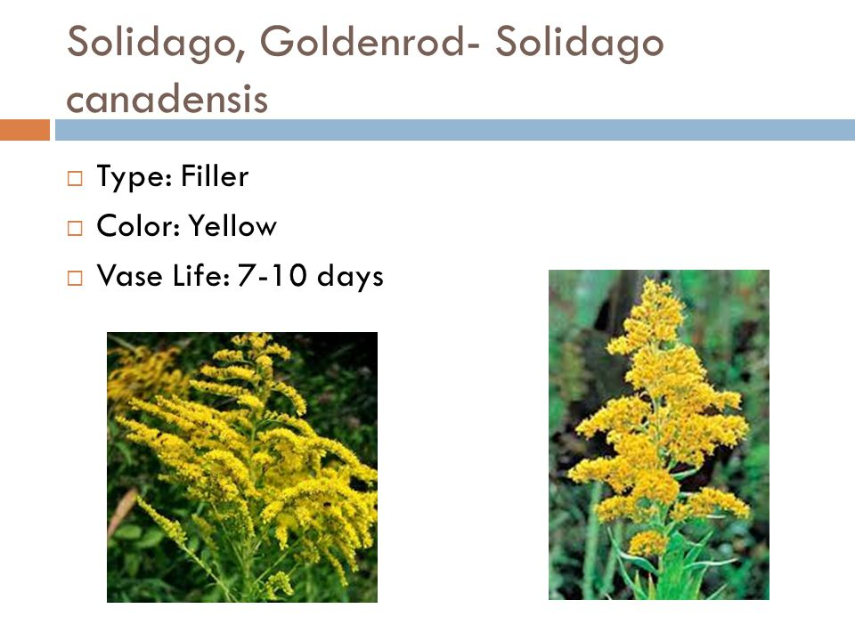 Solidago, Goldenrod- Solidago canadensis  Type: Filler  Color: Yellow  Vase Life: 7-10 days