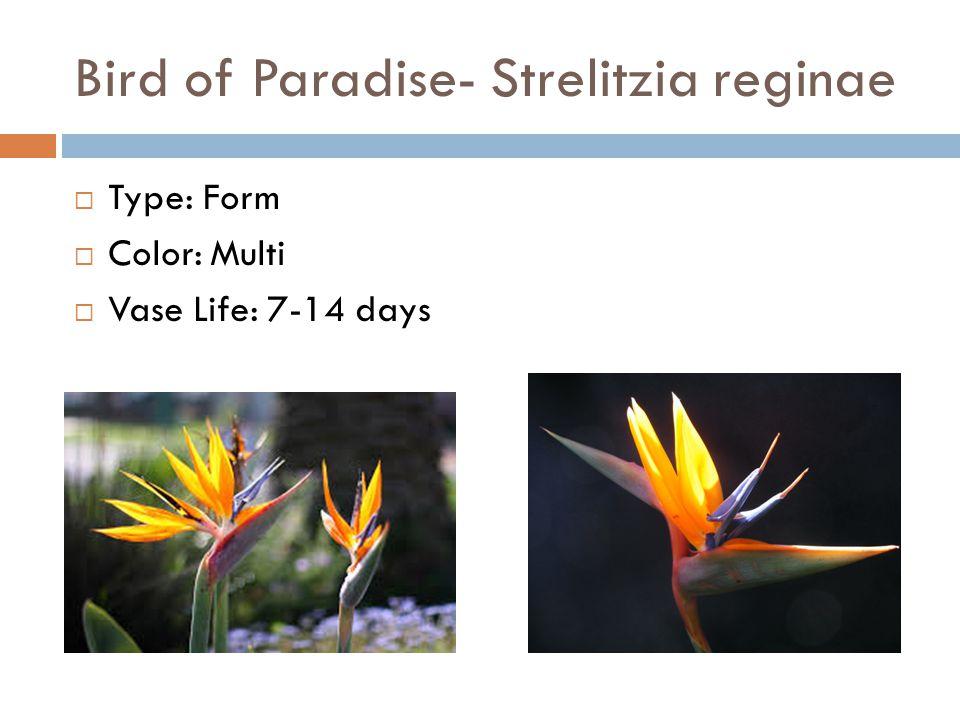 Bird of Paradise- Strelitzia reginae  Type: Form  Color: Multi  Vase Life: 7-14 days