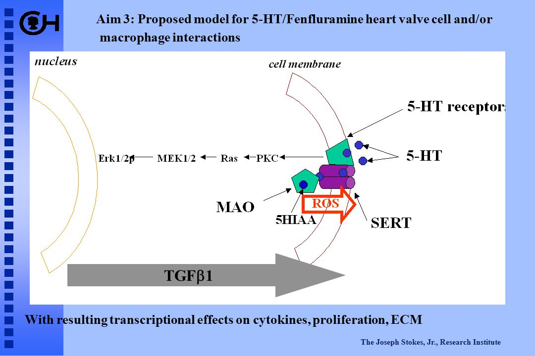 The Joseph Stokes, Jr., Research Institute Aim 3: Proposed model for 5-HT/Fenfluramine heart valve cell and/or macrophage interactions With resulting transcriptional effects on cytokines, proliferation, ECM TGF  1