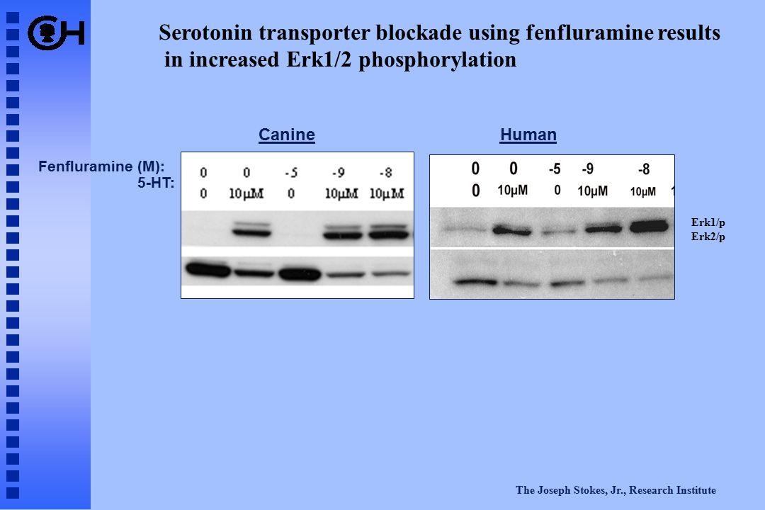 The Joseph Stokes, Jr., Research Institute CanineHuman Fenfluramine (M): 5-HT: Serotonin transporter blockade using fenfluramine results in increased Erk1/2 phosphorylation Erk1/p Erk2/p