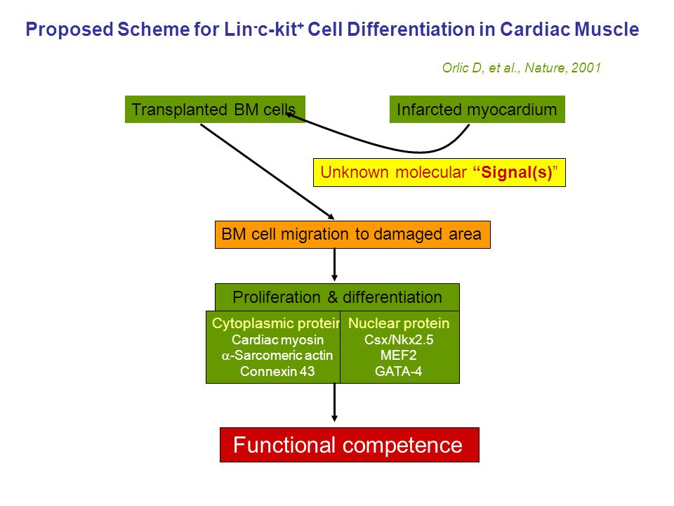 Proposed Scheme for Lin - c-kit + Cell Differentiation in Cardiac Muscle Orlic D, et al., Nature, 2001 Transplanted BM cellsInfarcted myocardium BM cell migration to damaged area Proliferation & differentiation Cytoplasmic protein Cardiac myosin  -Sarcomeric actin Connexin 43 Nuclear protein Csx/Nkx2.5 MEF2 GATA-4 Functional competence Unknown molecular Signal(s)