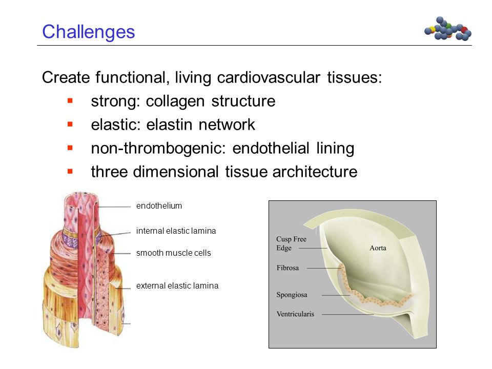 Challenges Create functional, living cardiovascular tissues:  strong: collagen structure  elastic: elastin network  non-thrombogenic: endothelial lining  three dimensional tissue architecture external elastic lamina smooth muscle cells internal elastic lamina endothelium