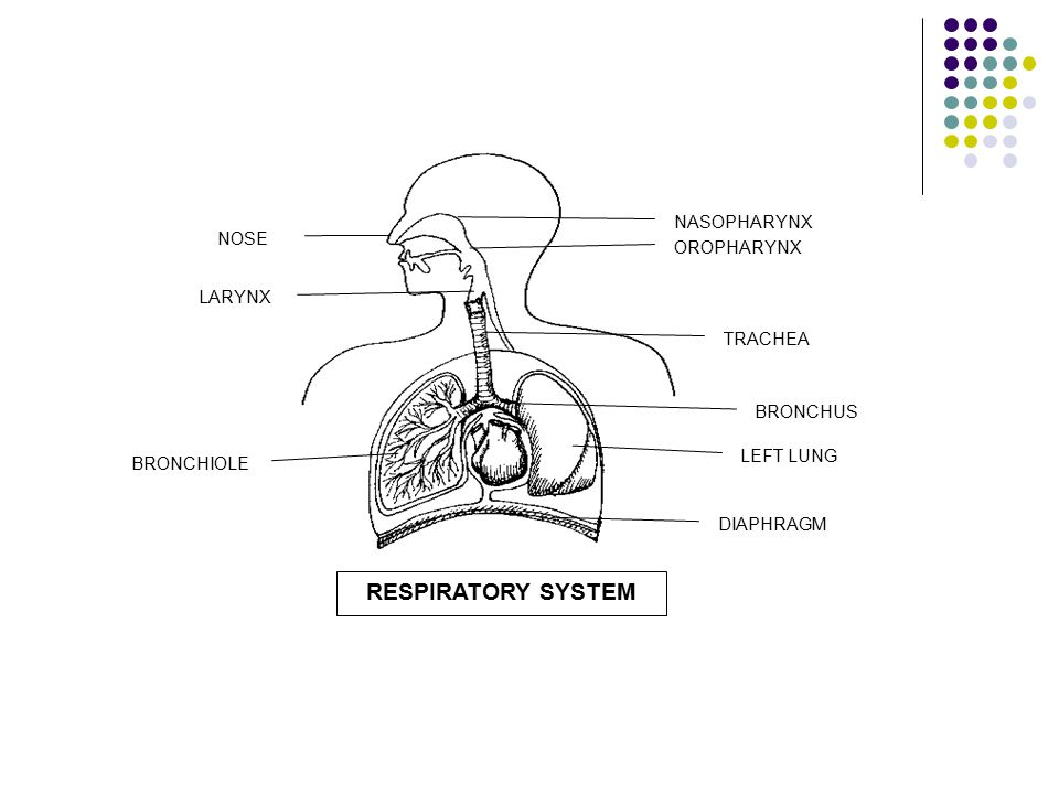 RESPIRATORY SYSTEM NOSE LARYNX BRONCHIOLE NASOPHARYNX OROPHARYNX TRACHEA BRONCHUS LEFT LUNG DIAPHRAGM