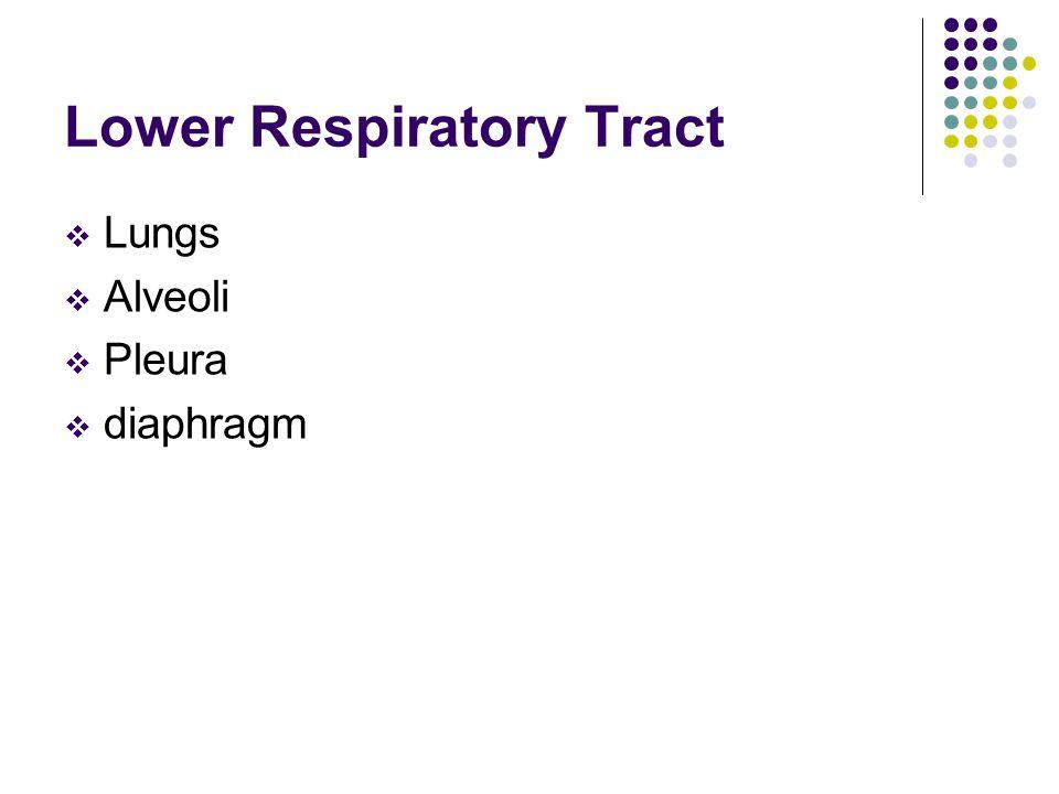 Lower Respiratory Tract  Lungs  Alveoli  Pleura  diaphragm