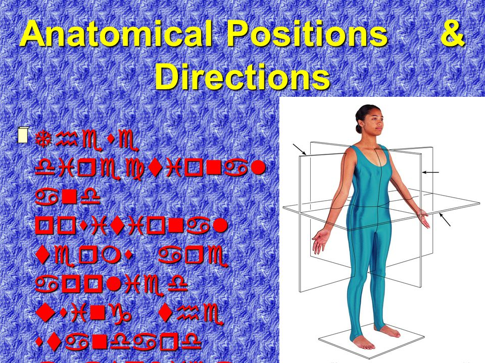 Anatomical Positions & Directions Planes frontal transverse median (sagittal) Transverse Frontal Median