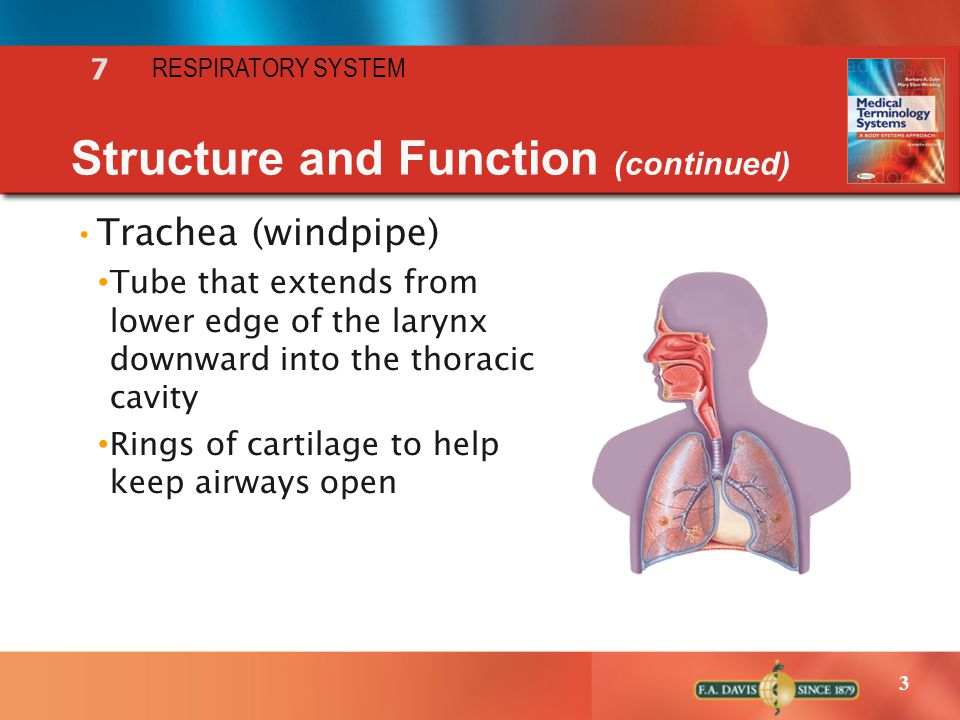 3 7 RESPIRATORY SYSTEM Structure and Function (continued) Trachea (windpipe) Tube that extends from lower edge of the larynx downward into the thoraci