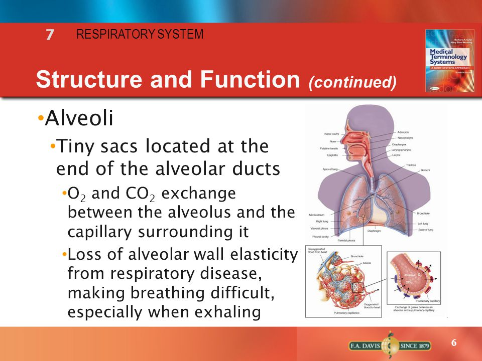 6 Alveoli Tiny sacs located at the end of the alveolar ducts O 2 and CO 2 exchange between the alveolus and the capillary surrounding it Loss of alveo
