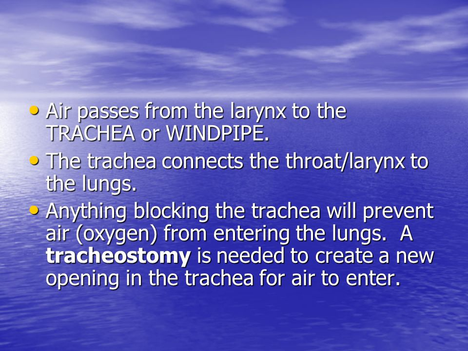 Air passes from the larynx to the TRACHEA or WINDPIPE.