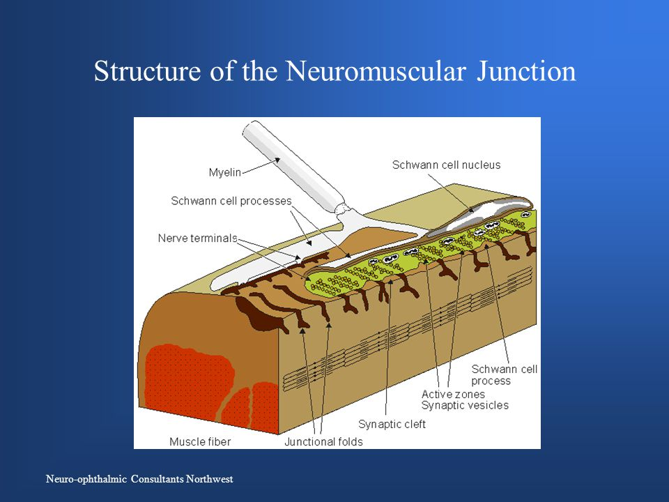 Neuro-ophthalmic Consultants Northwest Structure of the Neuromuscular Junction