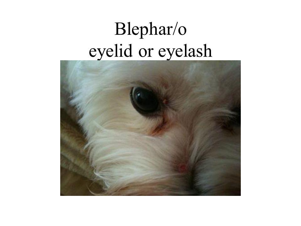 Blephar/o eyelid or eyelash