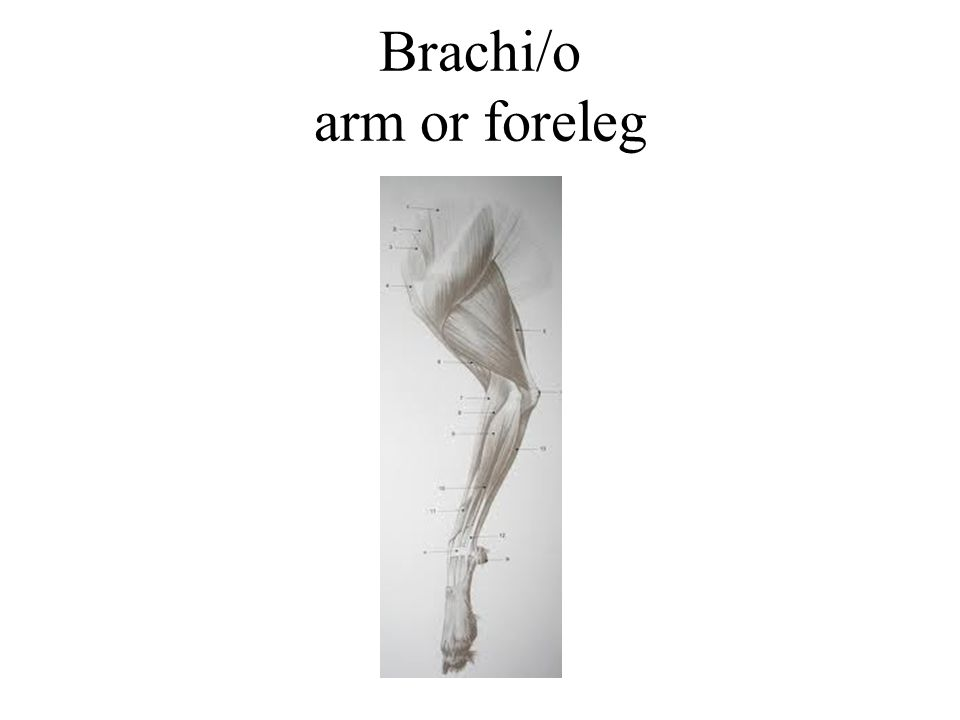 Brachi/o arm or foreleg