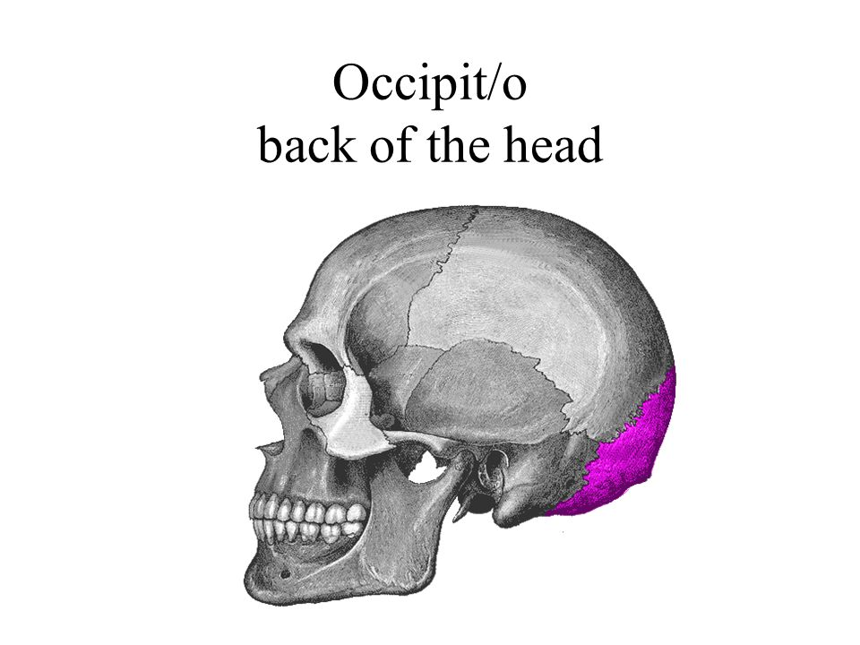 Occipit/o back of the head