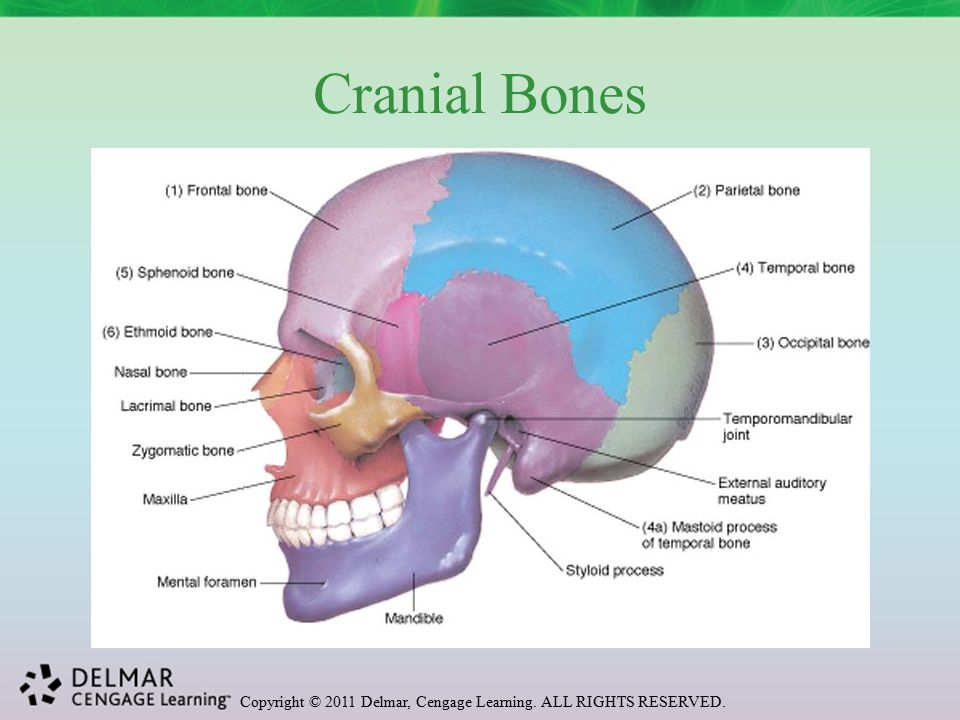 Copyright © 2011 Delmar, Cengage Learning. ALL RIGHTS RESERVED. Cranial Bones
